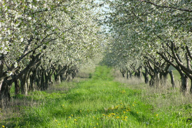 This Week: Cherries in Bloom; Updated Mask Guidance; Child Care Forum