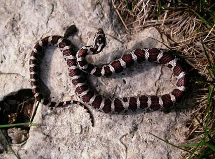 A Milk Snake showing the white letter  Y  on its head Snakes  Partners in Nature   Door County Pulse. Door County Living Classrooms. Home Design Ideas