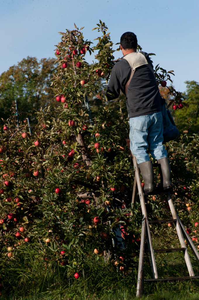 Unlike cherries, apples are still picked by hands the old fashioned way. Photo by Dan Eggert.
