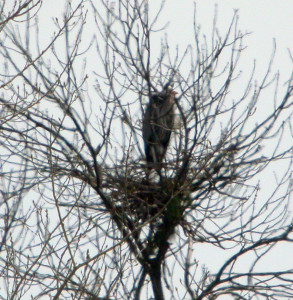 Great Blue Heron nest.