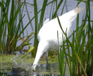Great Egret with its head in the water.