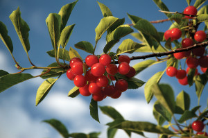 dclv07i03-history-cherries