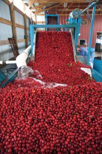 dclv07i03-history-cherry-conveyor-belt
