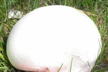 Giant Puffball Roy Lukes