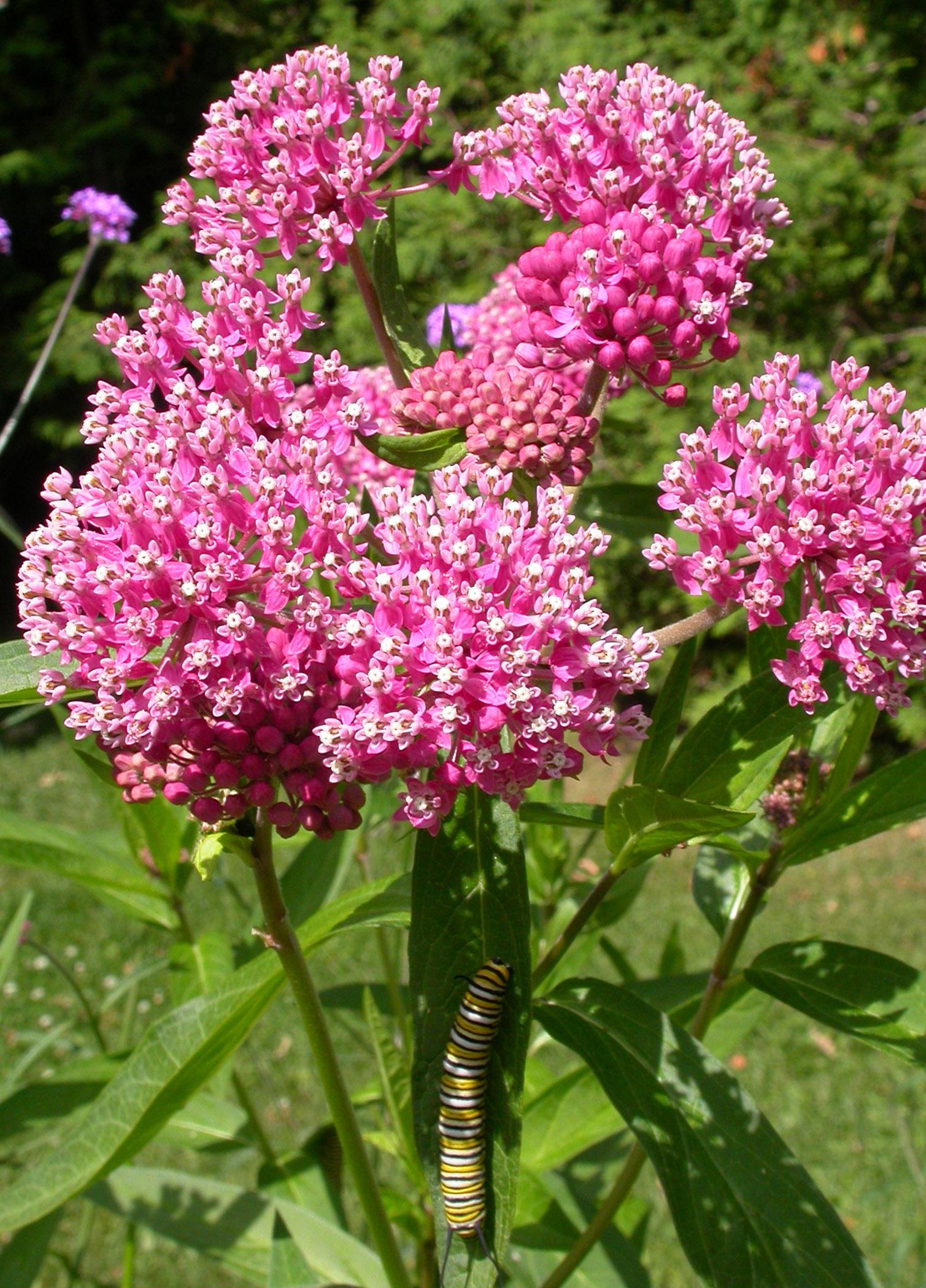 relationship between monarchs and milkweed
