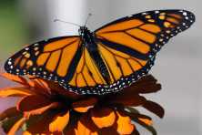 Monarch butterfly Roy Lukes