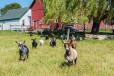 Grasse Acres goats