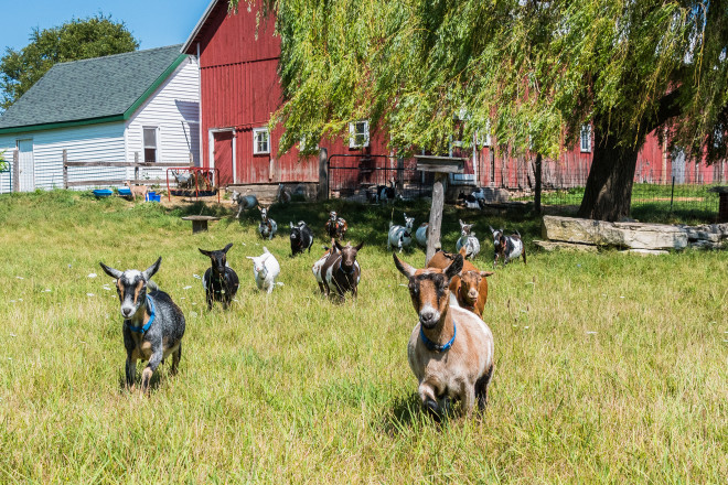 From a Hobby to a Lifestyle:  Grasse Acres Goat Farm