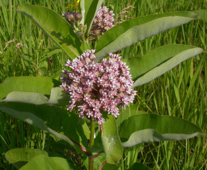 Common Milkweed Roy Lukes