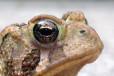 American Toad Eye Roy Lukes