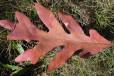 White oak leaf. roy lukes