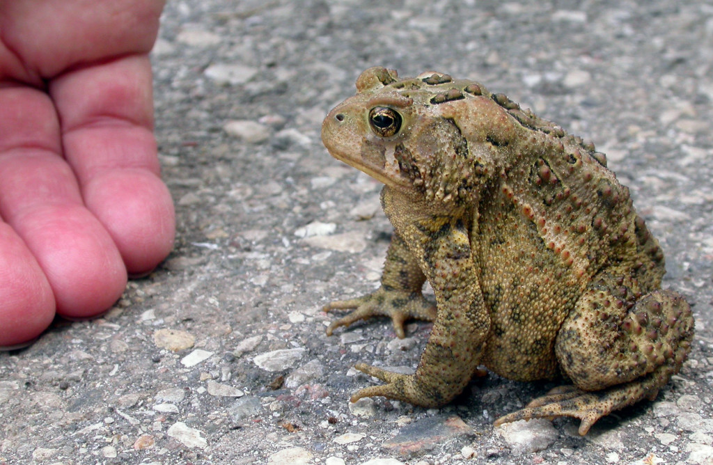 american toad roy lukes