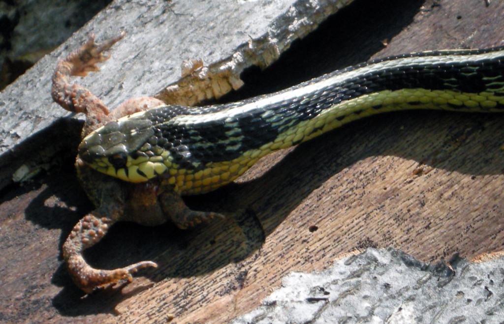 Garter snake and toad charlotte lukes