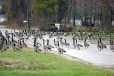 An army of Canada Geese appeared to commandeer Alabama Street in Sturgeon Bay on Nov. 21. Photo by Jim Lundstrom.