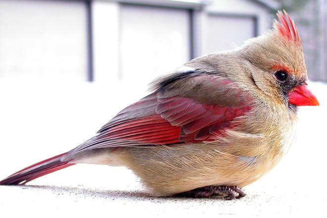 Christmas Bird.Door To Nature The Christmas Bird Door County Pulse