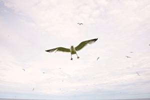 Len Villano, seagull