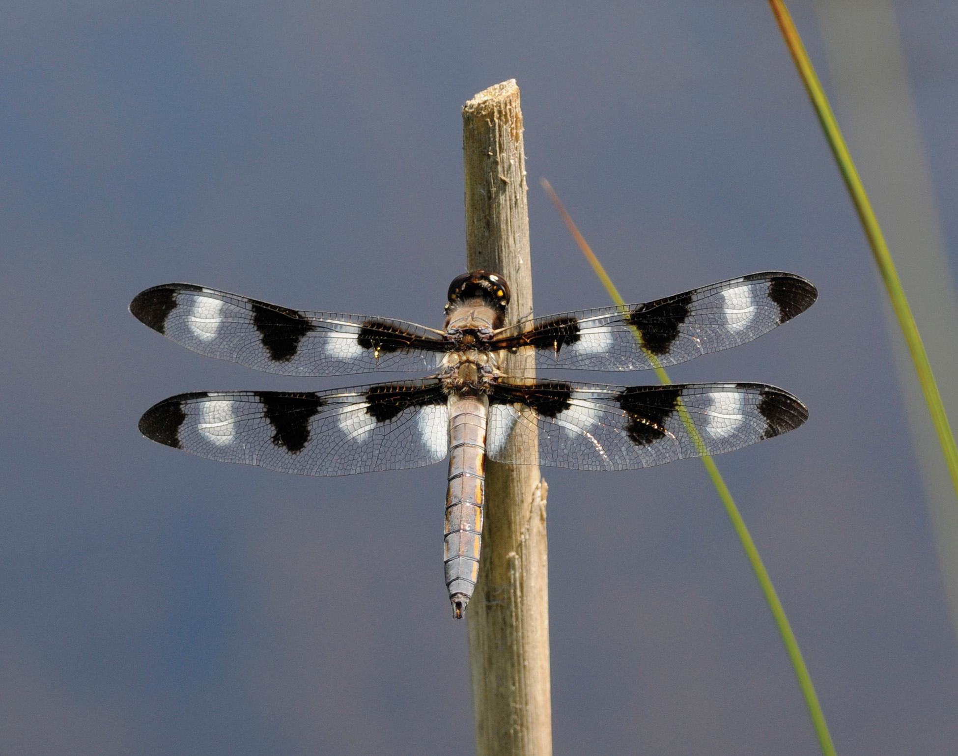 The Dazzling World of Dragonflies - Door County Pulse