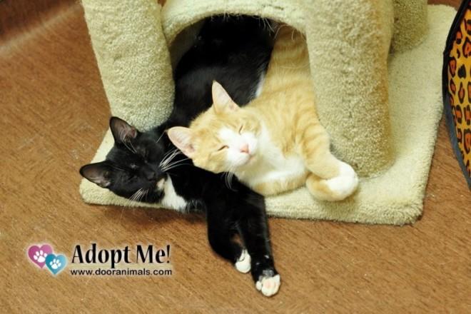 Free Cat Adoption Event at DCHS throughout December - Door