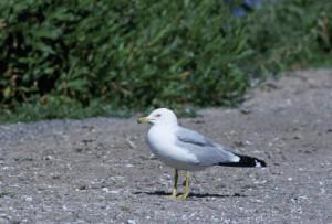 Ringbilled_gull