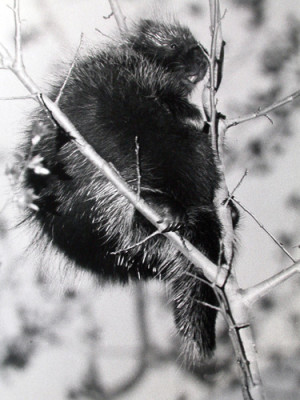 Roy Lukes, porcupine