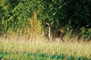 dclv10i02-habitats-whitetail-deer-hidden-corners-sanctuary