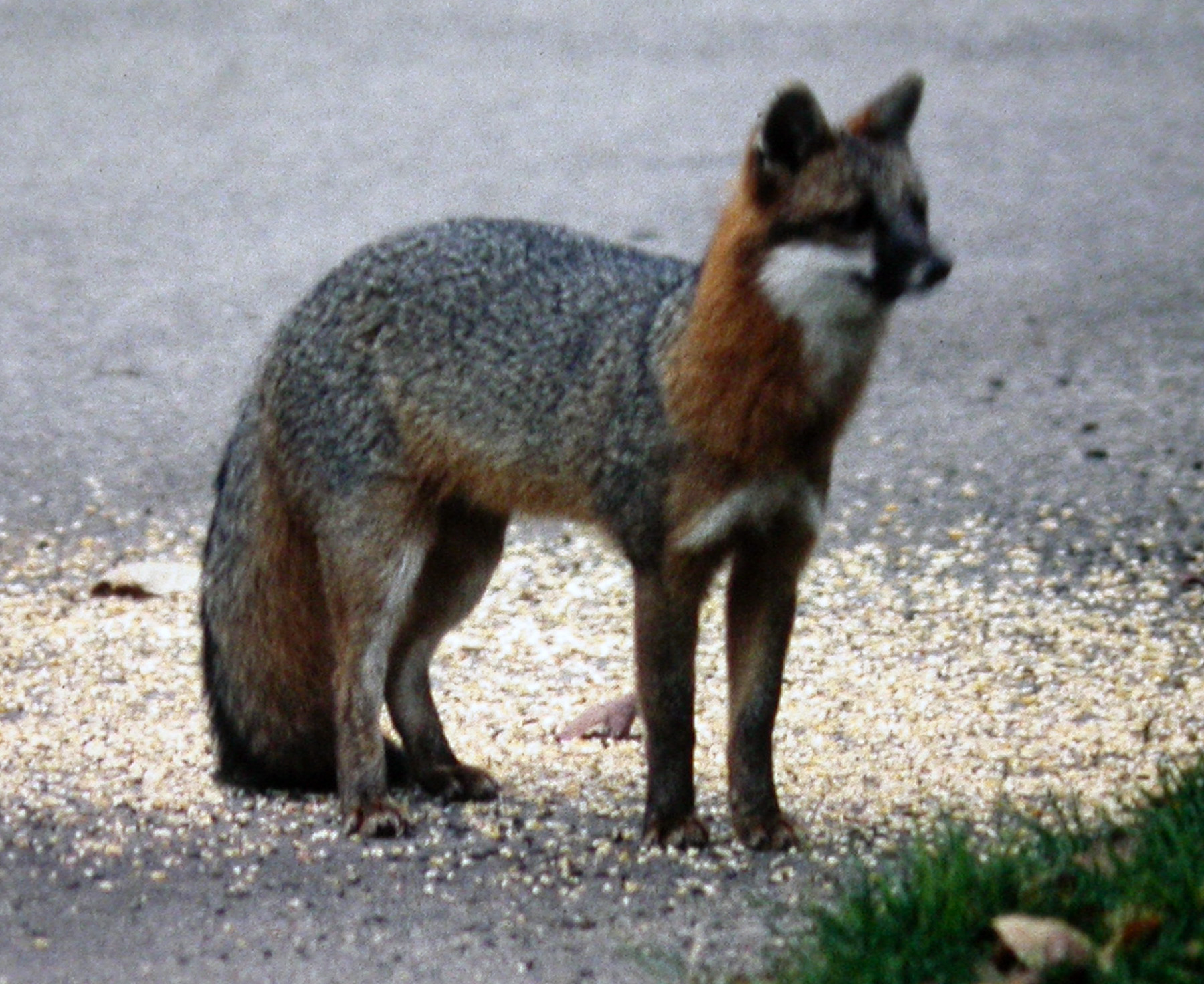 roy lukes  the gray fox