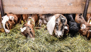 Len Villano, goats