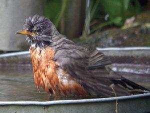 #2-DCL-2-16-Robin at bath 8-06-10-cr