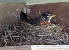 #6-DCL-2-16-Robin on nest-1-CRx