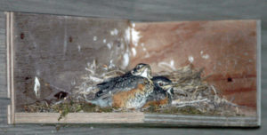 #7-DCL-2-16-Robin babies on nest shelf-1-cr & adj.