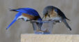 A pair of eastern bluebirds enjoys mealworms placed on top of a box after a cold spell one spring. Photo by Roy Lukes.