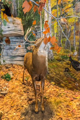 A deer nibbles on foliage in the four seasons wildlife display on the museum's main level. Photo by Len Villano.