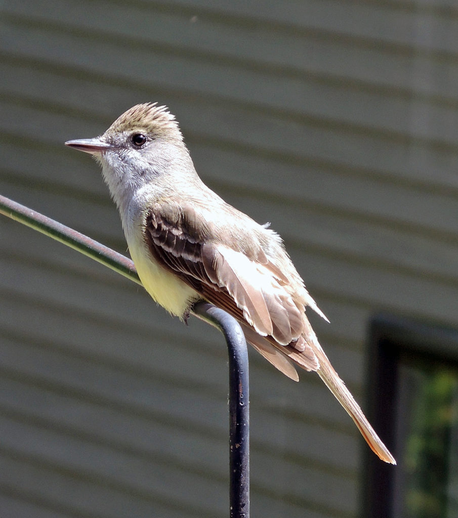 Our resident crested flycatcher likes to perch on the rod which holds the hummingbird feeder on our deck railing. Photo by Roy Lukes.