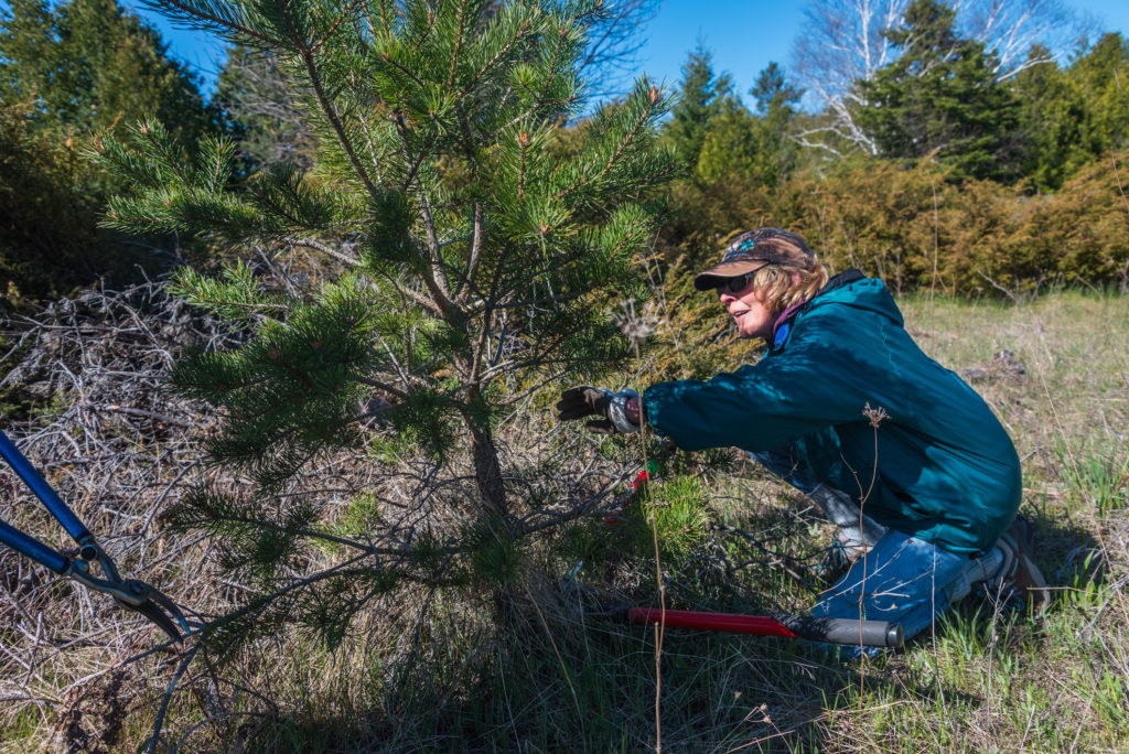 Mary Thilly, of Baileys Harbor, takes part in the Door County Land Trust's work day at Three Springs Nature Preserve to control non-native Scotch pine. Photo by Len Villano.