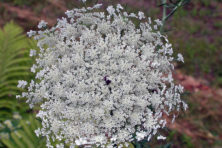 "This Queen Anne's lace shows the outer margin of slightly larger white blossoms and the deep purple ""target"" spot in the center. Photo by Roy Lukes."