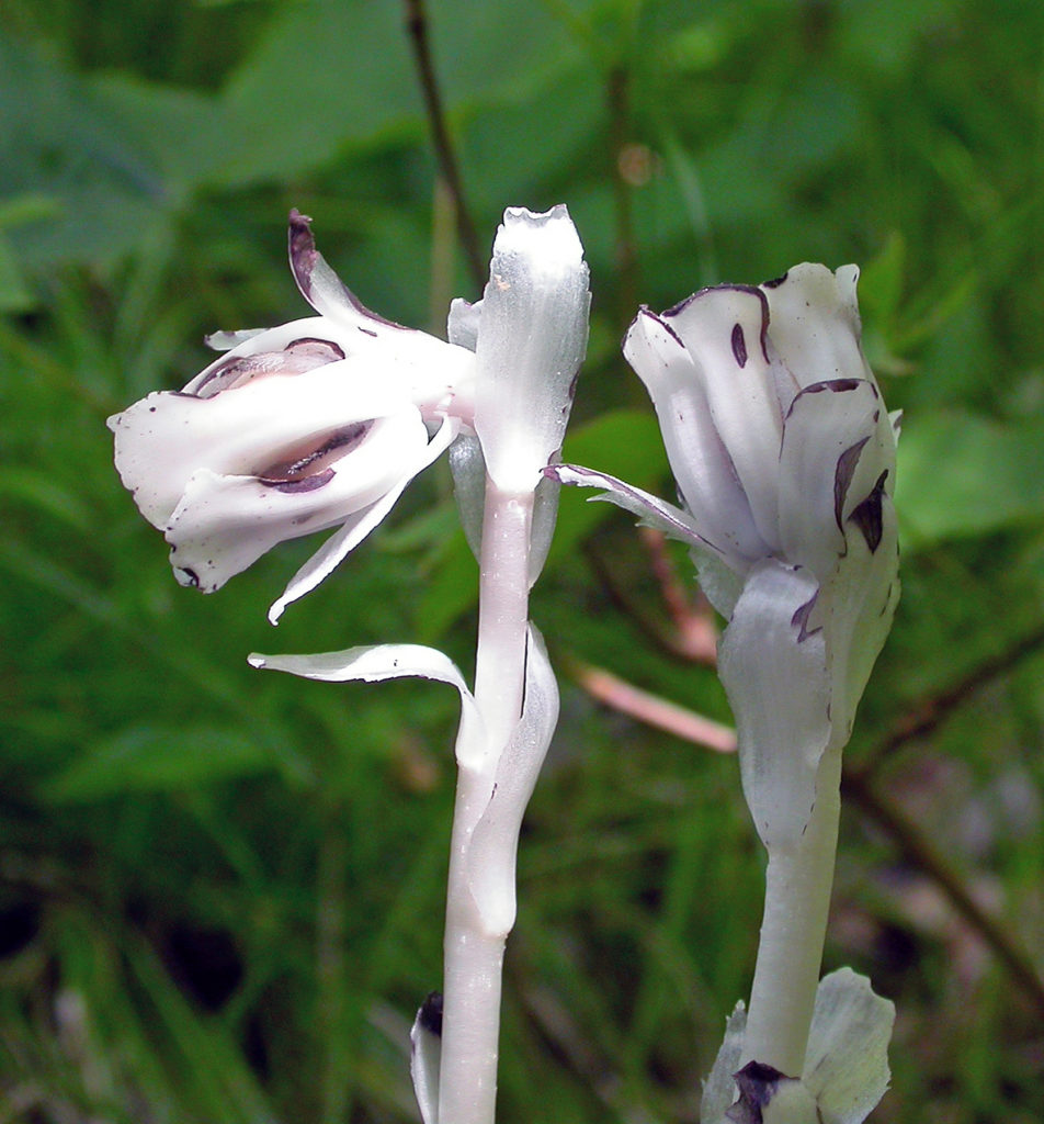 Two Indian pipe blossoms begin to show blackening while they mature with one already lifting its head up as the seeds ripen. Photo by Roy Lukes.