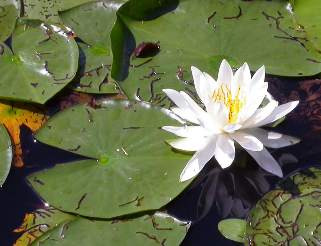 White Water Lilies open in the morning and will close by early afternoon. Photo by Roy Lukes.