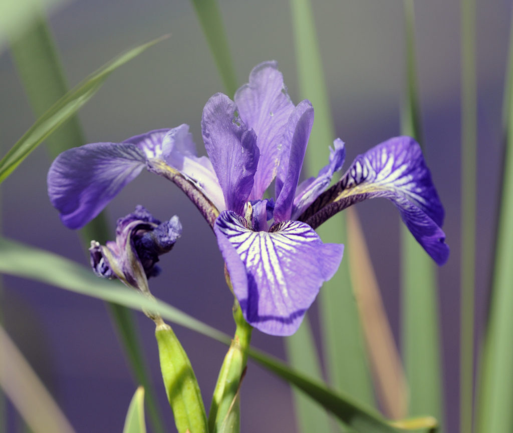 Blue Flag Iris grows well in wetlands where cattails thrive. Photo by Roy Lukes.