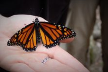 Monarch Photo