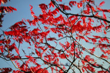 A view up to a blue sky beneath the red autumn leaves of the staghorn sumac is quite a colorful scene. Photo by Roy Lukes.