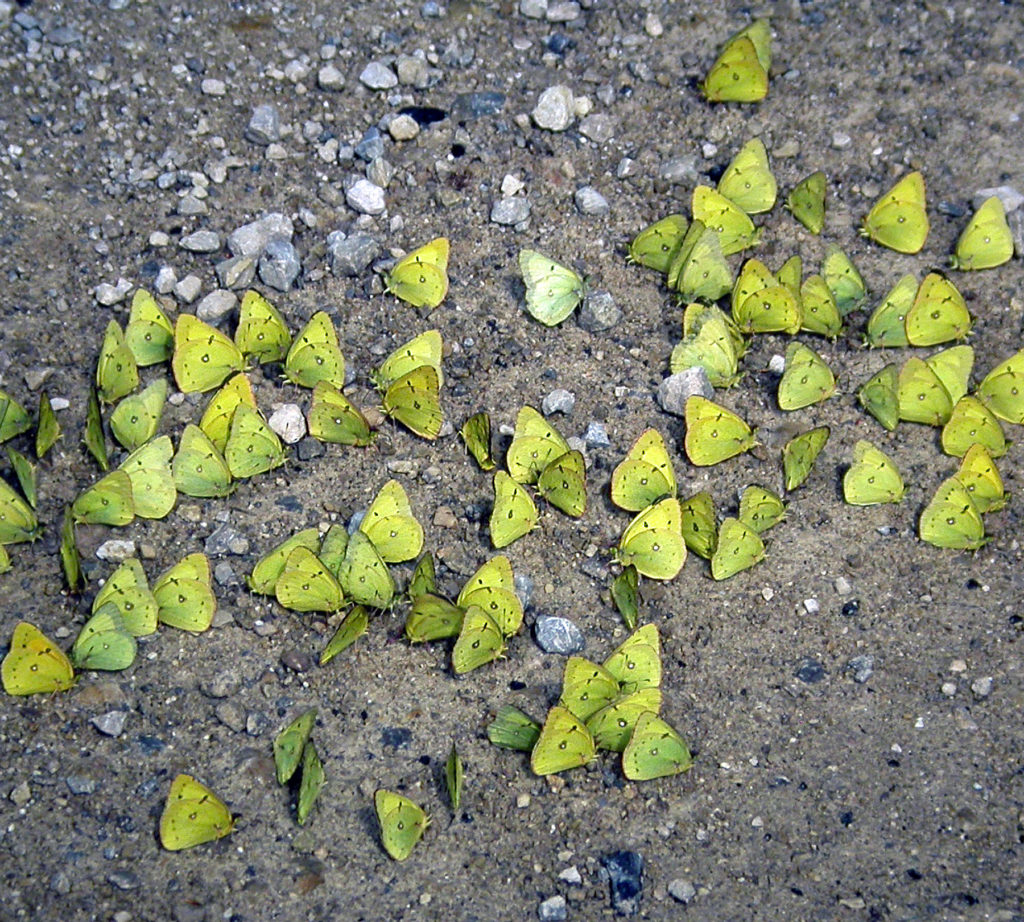 The grouping of many sulphur butterflies seeking minerals and moisture in the soil is called puddling. Photo by Roy Lukes.