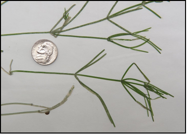 Starry stonewort has whorls of long branchlets, each with a blunt tip. Photo Credit: Golden Sands RC&D.