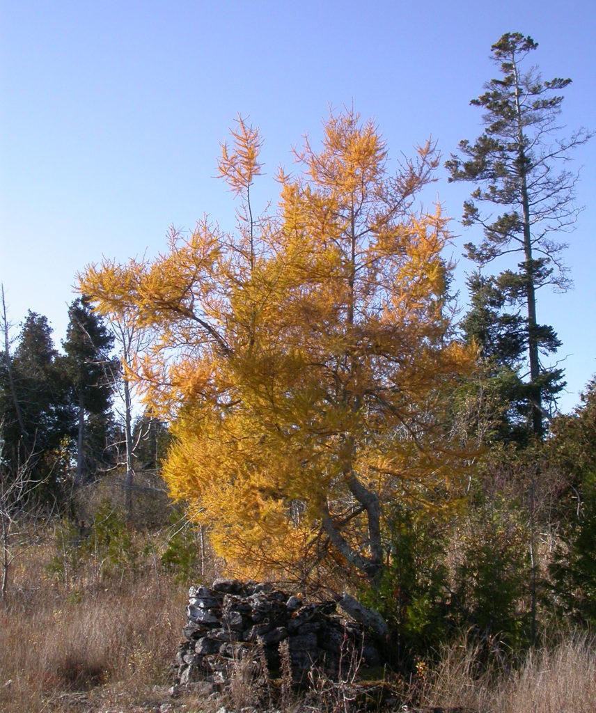 American tamarack trees need space and cannot stand to be crowded by other trees. Photo by Roy Lukes.