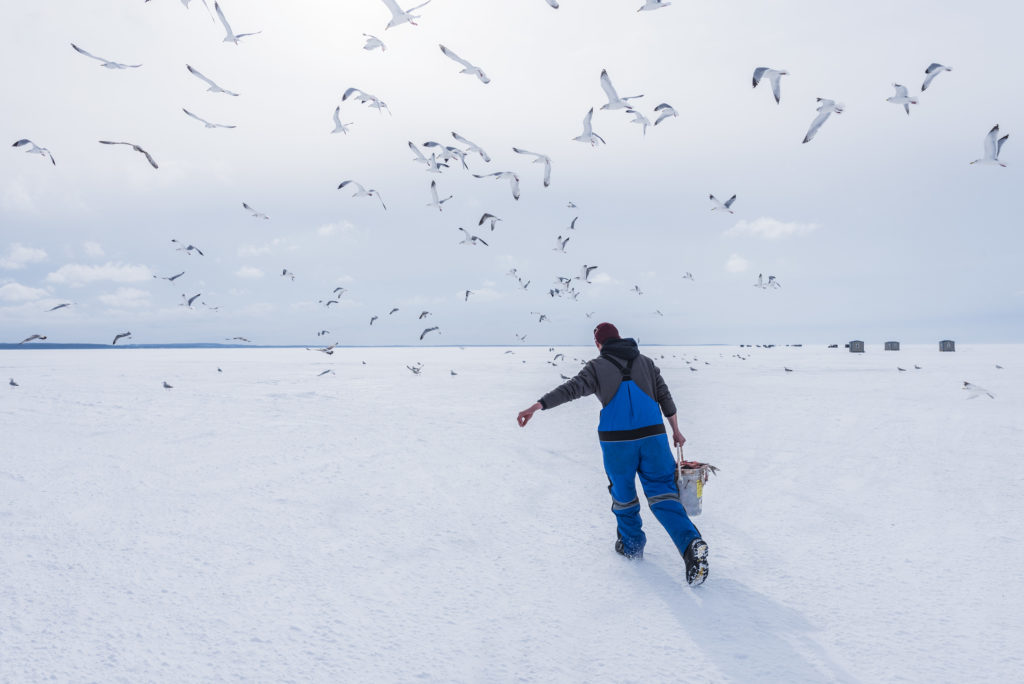 Gulls gather in anticipation as Trophy Ice Fishing employee Eli Hanks prepares to dump a bucket of fish guts on the ice. Photo by Len Villano.