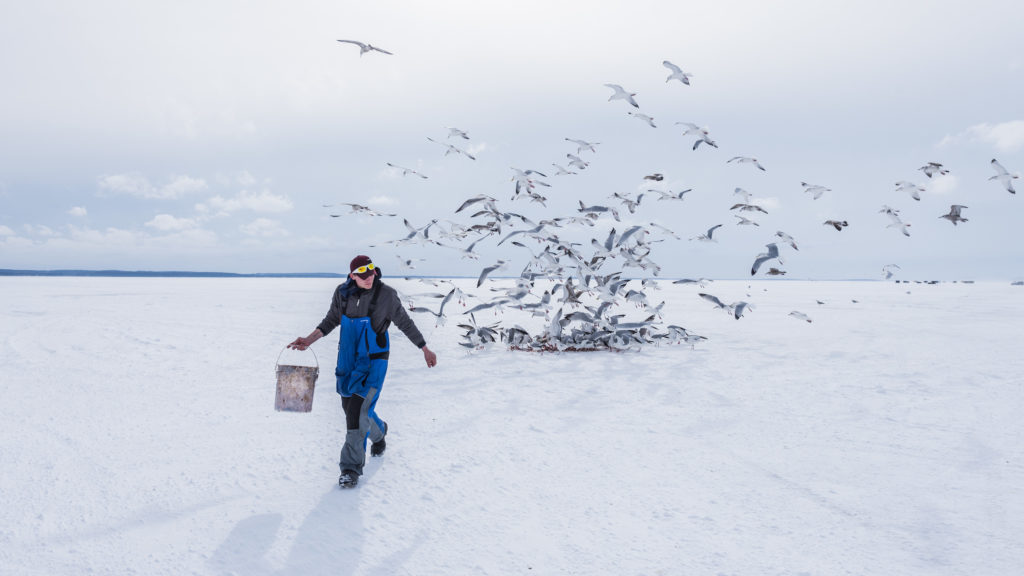 Gulls gather after Trophy Ice Fishing employee Eli Hanks dumps a bucket of fish guts on the ice. Photo by Len Villano.