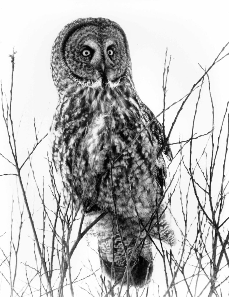 Great Gray Owls have bright yellow eyes, distinct facial discs and a very flat face. Photo by Roy Lukes.