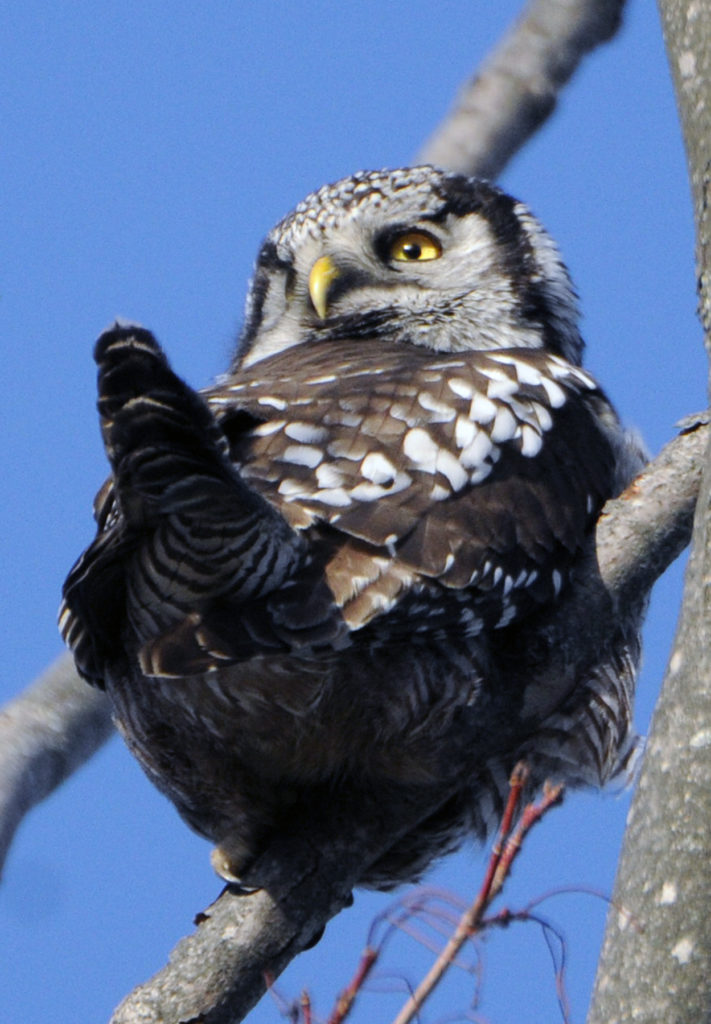 Owls, like this Northern Hawk Owl, have the ability to turn their heads 180 degrees and can look behind them. Photo by Roy Lukes.