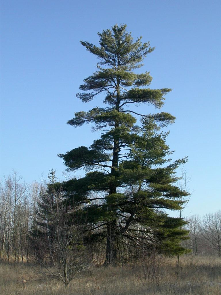 roy  u0026 charlotte lukes  pine trees