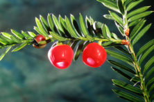 American or northern yew leaves are flat and pointed at the tips. The fruit is a beautiful red contrast to the foliage. Photo by Roy Lukes.