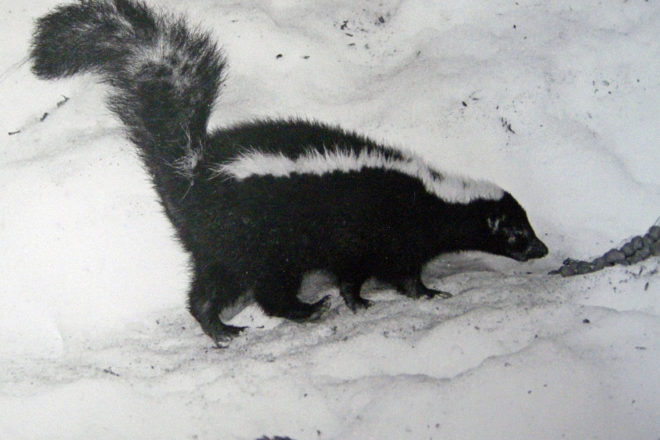 Roy & Charlotte Lukes: Skunks, Black & White Perfume Dispensers